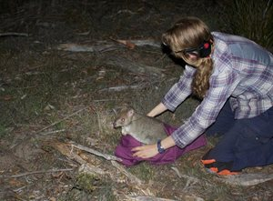 A Bettong is released by Kirstin Proft (a PhD candidate at UTAS). Photo Riana Gardiner.