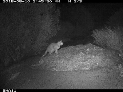 A feral cat stalks a Malleefowl mound on Monjebup North Reserve.