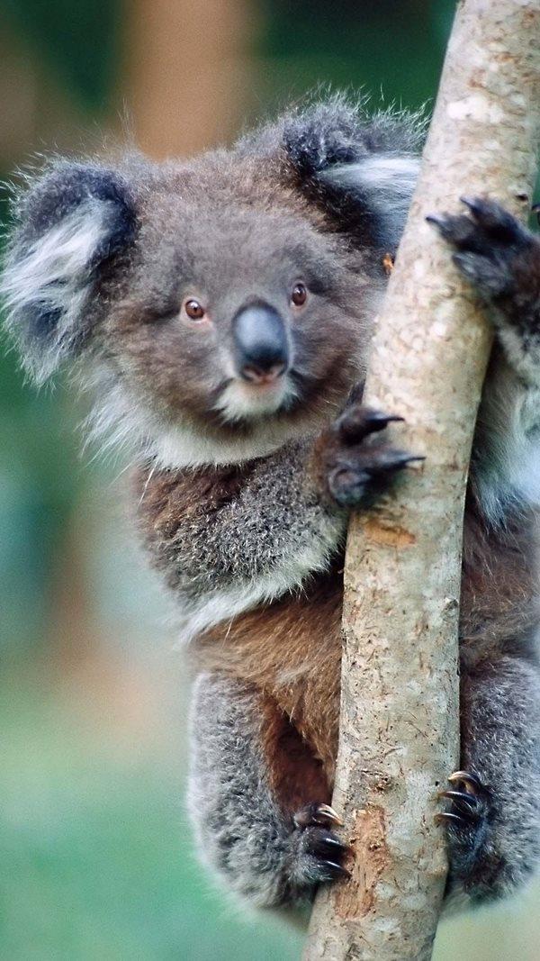 Koala. By Steve Parish/Nature Connect