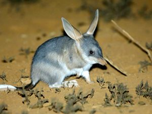 Greater Bilby. Photo Steve Parish.
