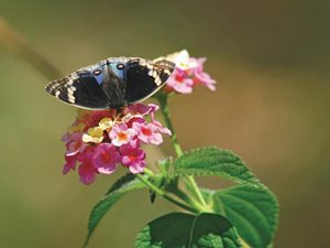 A native butterfly feeding on a Lantana flower. Photo Wayne Lawler / EcoPix.