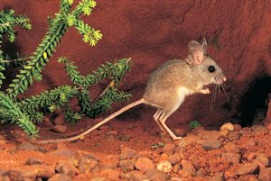 Spinifex Hopping Mouse. Photo Lochman Transparencies.