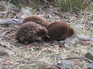 A group of Echidna's in the Tasmanian Midlands. Photo Matt Appleby.