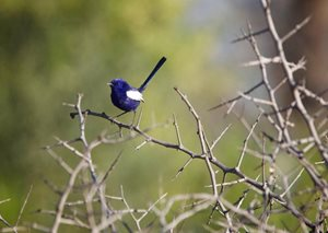 A male White-winged Fairy Wren. Photo Peter Morris.