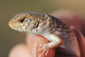 A Desert Skink on Charles Darwin Reserve, WA. Photo Tim Doherty.