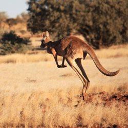 kangaroos facts information bush heritage australia