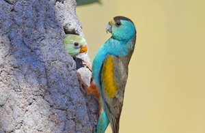 Golden Shouldered Parrots at a termite mound nest. Photo Geoffrey Jones.