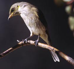 Fuscous honeyeater. Photo Wayne Lawler / EcoPix.
