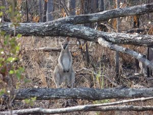 A wallaby returns to a fire scar area on Yourka Reserve. Photo Leanne Hales.