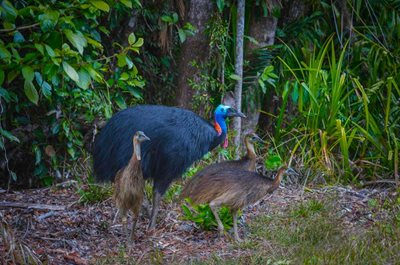 Cassowary with chicks. Photo Steve Parish.