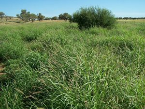 Buffel grass blooming after rains. Photo Mark and Nella Lithgow.