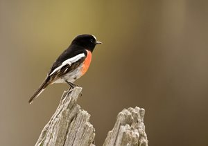 The Red-breasted Robin is found on Scottsdale. Photo Jiri Lochman / Lochman Transparencies.