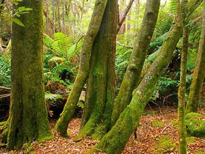 Rainforest understorey of Swamp Gum and Messmate, wet sclerophyll forest, Liffey Valley. Photo Wayne Lawler / EcoPix.