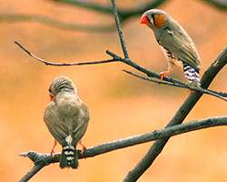 Photo of Zebra finches