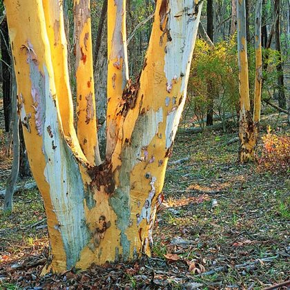 Woodland at Tarcutta. Photo Wayne Lawler / EcoPix.