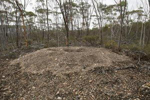 An impressive Malleefowl nest at our Monjebup North Reserve, WA. Photo Jiri Lochman/Lochman Transparencies.