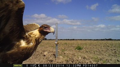 A juvenile Wedgie photo bombing a remote camera on Monjebup Reserve, WA.
