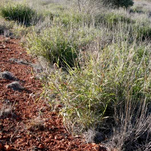 battling buffel grass bush heritage australia
