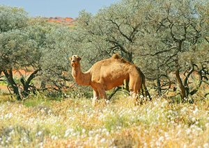 A feral camel amongst spinifex. Photo Wayne Lawler / EcoPix.