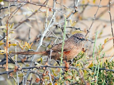A Western Grasswren at Hamelin. Photo Ben Parkhurst.