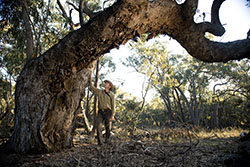 Jeroen van Veen with old-growth stringy-bark eucalypt
