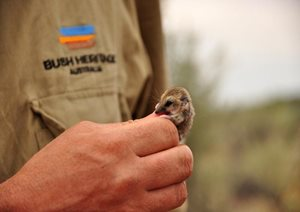 A Fat-tailed Dunnart at Bon Bon Reserve, SA. Photo Annette Ruzicka.