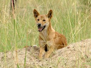 A Dingo among grasslands at Carnarvon Reserve, Qld. Photo Kent Womack.