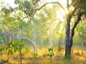 A White Gum on Yourka Reserve, Qld. Photo Wayne Lawler/EcoPix.