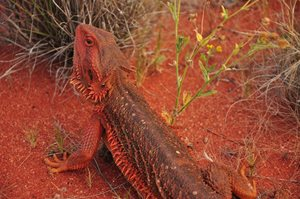 A bearded dragon blending into its environment at Bon Bon (SA). Photo Annette Ruzicka.
