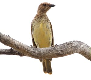 A Spotted Bowerbird at Edgbaston Reserve, Qld. Photo Anthony Darlington.