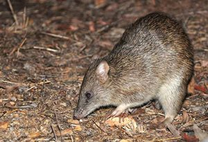 A bandicoot nosing around on Yourka Reserve, Qld. Photo Annette Ruzicka.