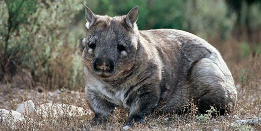 Southern hairy-nosed wombat.