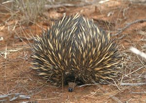 An echidna is well camouflaged in the arid landscape at Eurardy Reserve in WA. Photo Leanne Hales.