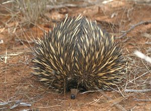 An Echidna on Eurardy Reserve. Photo Leanne Hales.