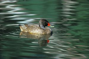 A male freckled duck with its reflection in the water. Photo Steve Parish.