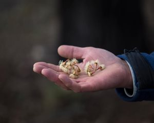 A handful of eucalypt seeds that will help us ensure ongoing woodland habitat. Photo Annette Ruzicka.