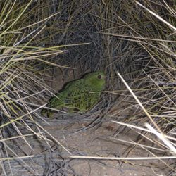 Night Parrot among spinifex