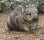 Southern hairy-nosed wombat. Photo: Dave Watts/Lochman Transparencies.