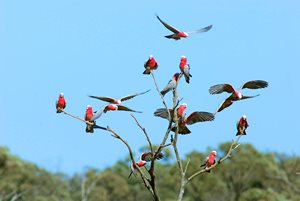 Galahs in open gidyea woodland on Edgbaston. Photo Wayne Lawler / EcoPix.