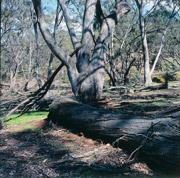 Judith Eardley Reserve in the grassy woodlands of south-eastern Australia. Photo David Tatnall.
