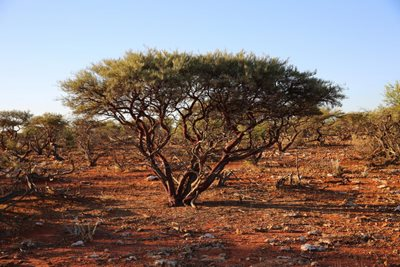 Minritchie shrub (an acacia) surrounded by soil compacted by sheep and goats. Photo Cineport Media.