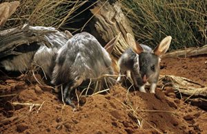 Greater Bilby. © Reg Morrison/AUSCAPE All rights reserved.