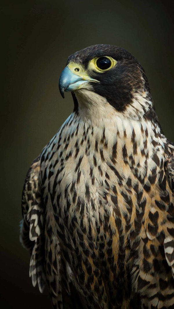 Peregrine Falcon. By Steve Parish/Nature Connect