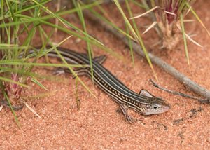 The Hamelin Skink. Photo Simon Fordham / NaturePix.