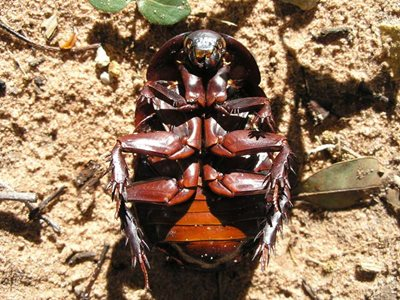 A Giant Burrowing Cockroach at Reedy Creek. Photo Steve Heggie.