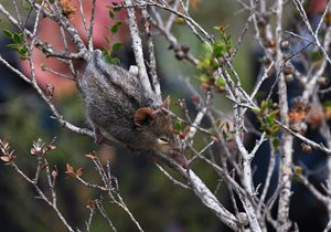 A sleepy Honey Possum at Chingarrup property in the Gondwana Link project. Photo Annette Ruzicka.