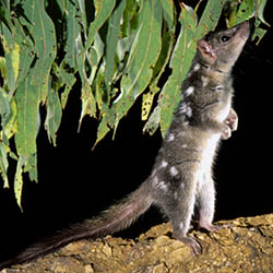 The threatened northern quoll is sensitive to fires. Photog by Jean-Paul Ferrero