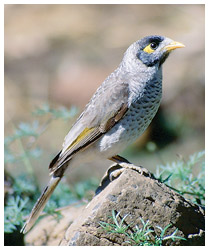 Noisy miner, an aggressive competitor to small woodland birds. Photo Paul Evans.
