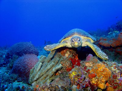 A Loggerhead Turtle exploring a colourful reef. Photo Gary Rinaldi (FlickR)