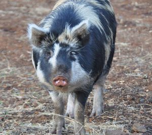 Feral pigs need to be managed at Carnavon. Photo Cathy Zwick.